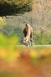 Dromedary camel Royalty Free Stock Photography