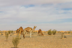 Dromedary camel. At the tunisian desert Royalty Free Stock Photos