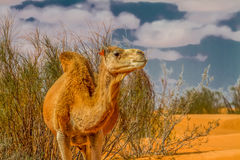 Dromedary camel. At the tunisian desert Royalty Free Stock Photo