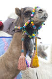 Dromedary camel wearing a colourful bridle. A brown dromedary camel wearing a colourful bridle stock photography