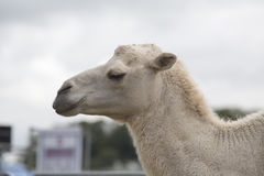 Dromedary camel Stock Photography