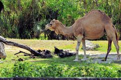 Dromedary camel in zoo. Miami, South Florida.  The Dromedary camel, also called the Arabian camel or the Indian camel (Camelus dromedarius) is a large, even Stock Images