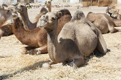 kneeling camel stock photos images  pictures  95 images