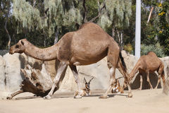 Dromedary camels and antelopes. In zoo Stock Photos