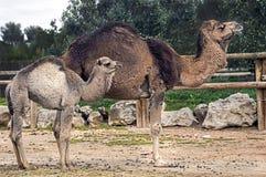 Dromedary camels 1. Dromedary camel female and her kid. Latin name - Camelus dromedarius Royalty Free Stock Photos