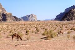 Dromedary camels graze in Wadi Rum desert, Jordan Stock Images