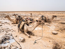 Dromedary camels jused to transport salt in the Danakil Depressi. Dromedary camels used to transport amole salt slabs across the desert in the Danakil Depression Royalty Free Stock Image