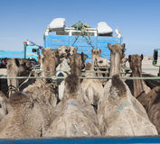Dromedary camels loaded on a truck Stock Photo