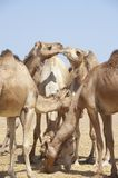 Dromedary camels at a market Stock Images