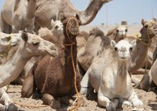 Dromedary camels at a market Royalty Free Stock Image