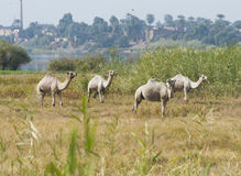 Dromedary camels in a meadow on riverbank Stock Photo