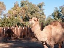 Dromedary Camels Stock Photo