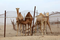 Dromedary camels in Qatar Stock Photography