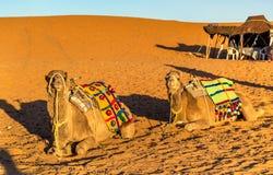 Dromedary camels resting at Erg Chebbi dunes of Sahara desert. Merzouga, Morocco Royalty Free Stock Photos