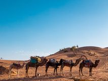 Dromedary camels resting in the Sahara desert, Morocco stock photo