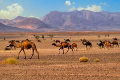 Dromedary camels in Sahara, Morocco, Africa Stock Images