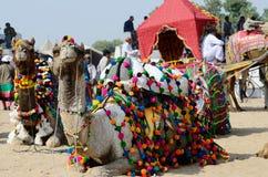 Dromedary camels taking part at famous cattle fair,Pushkar,India royalty free stock image