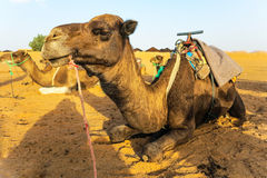 Dromedary camels waiting for tourists Stock Photo