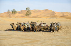Dromedary Stock Photos