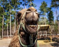 A dromedary camera grins for the camera. stock images
