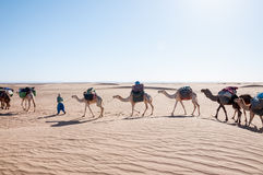 Dromedary caravan, Hamada du Draa (Morocco) Royalty Free Stock Photo