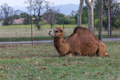 Dromedary. Circus camel tie in the countryside Stock Photography