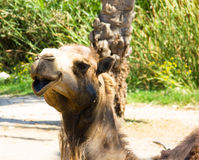 Dromedary close Stock Image