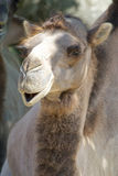 Dromedary 028 Royalty Free Stock Image