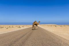 Dromedary. Crossing a road in Sahara desert Stock Photos