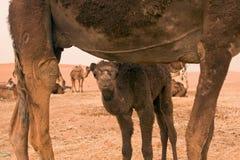 Dromedary del bambino e della madre Immagine Stock Libera da Diritti