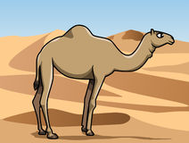 Dromedary in the desert Stock Photo