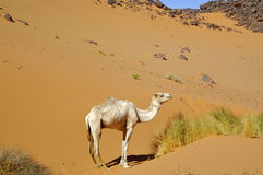 Dromedary in the desert Stock Image