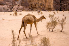 Dromedary in the desert. A dromedary , also called the Arabian camel, in the Wadi Rum desert Royalty Free Stock Photos