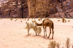 Dromedary in the desert. A dromedary , also called the Arabian camel, in the Wadi Rum desert Stock Image