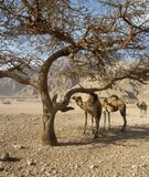 Dromedary in the desert Royalty Free Stock Photos