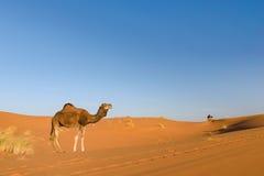 Dromedary in the desert Erg Chebbi, Morocco. Dromedary standing in the desert of Erg Chebbi in Morocco Royalty Free Stock Photo