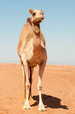 Dromedary in the desert. Omani desert. Free dromedary intrigued by jeep and the camera Royalty Free Stock Photography