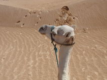 Dromedary in the desert Stock Images
