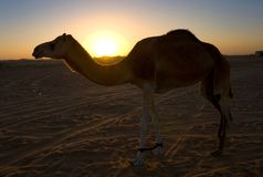 Dromedary in desert. Silhouette of a dromedary in the desert during sunset Royalty Free Stock Images