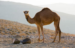 Dromedary in the desert Stock Photography