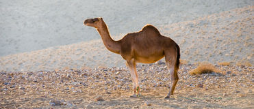 Dromedary in the desert Stock Photos