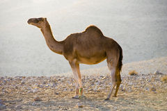 Dromedary in the desert Royalty Free Stock Photo