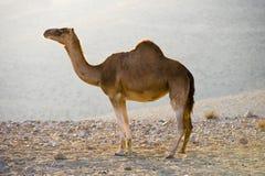 Dromedary in the desert. Dromedary standing alone in the desert of Jordan Royalty Free Stock Photo