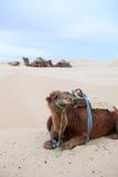 Dromedary do camelo imagem de stock royalty free
