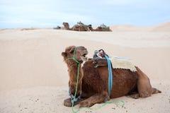 Dromedary do camelo na areia foto de stock royalty free