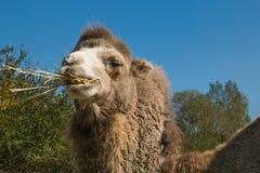 Dromedary eating hay. Portrait of dromedary eating hay Stock Image