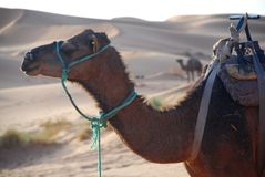 Dromedary. Erg Chebbi, Sahara, Morocco. Erg Chebbi is one of Moroccos two Saharan ergs, large dunes formed by wind-blown sand Royalty Free Stock Photography