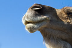Dromedary face. A portrait of the face of dromedary Royalty Free Stock Images