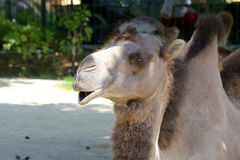 Dromedary 009 Royalty Free Stock Image