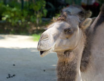 Dromedary 006 Royalty Free Stock Photo